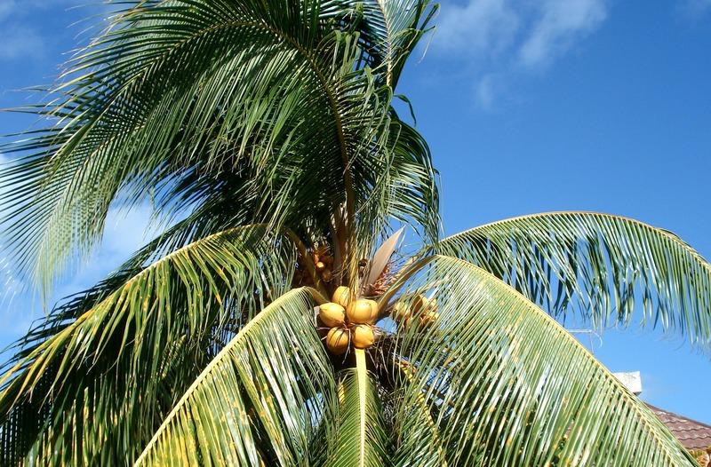 palmiers et cocotiers des antilles. Black Bedroom Furniture Sets. Home Design Ideas