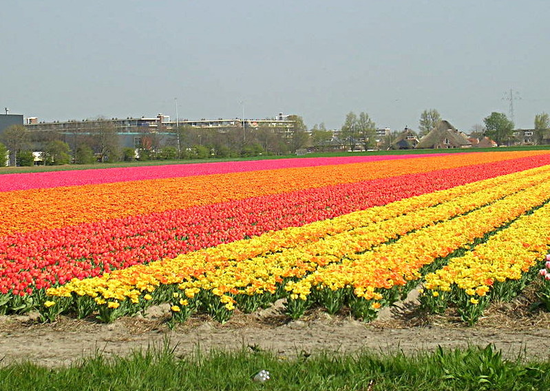 Keukenhof_Champs_de_tulipes_t.800.jpg